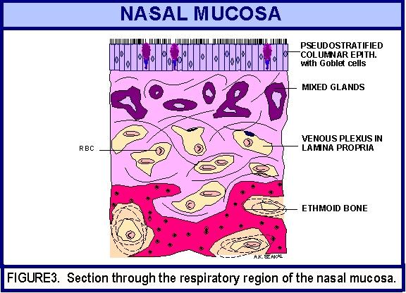 Respiratory System ANAT. 502.001, Dr. A.K. Szakal