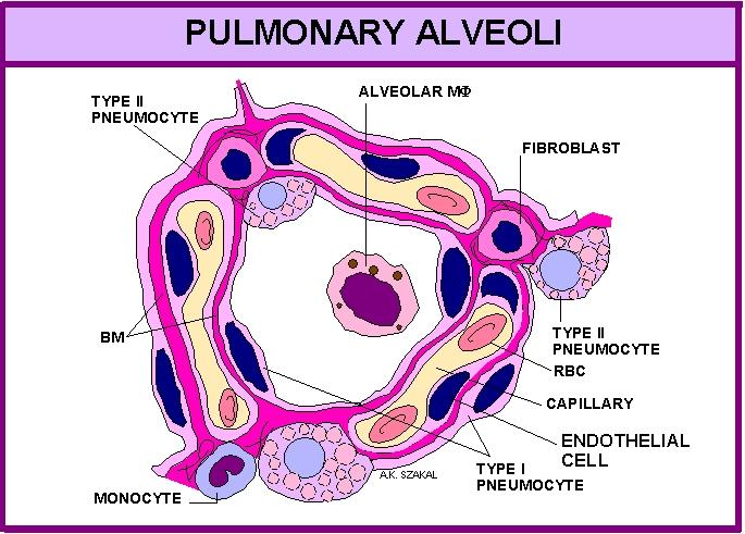 Respiratory System Anat 502001 Dr Ak Szakal