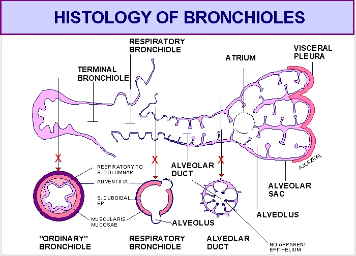 Pics For > Terminal Bronchioles Histology
